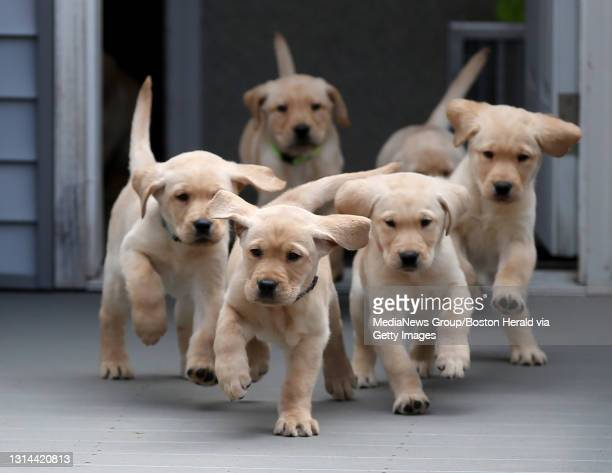 Future service dogs are currently 7 week old puppies in the current NEADS nursery on April 22, 2021 in Princeton, MA.