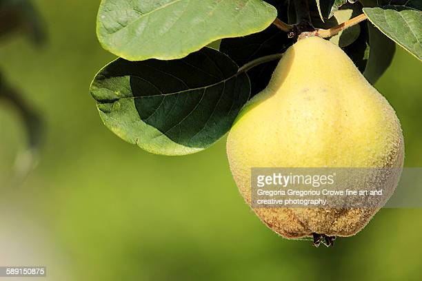 fuzzy pear - gregoria gregoriou crowe fine art and creative photography. stock pictures, royalty-free photos & images