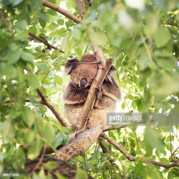fuzzy - koala stock photos and pictures