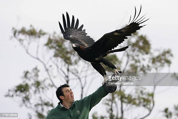 'Gabby' a tawnybrown wedgetailed eagle commences flying lessons with a Taronga Zoo trainer at Georges Heights August 9 2006 in Sydney AustraliaThe...