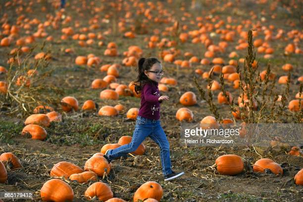 BROOMFIELD CO OCTOBER 22 Gabby Johnson of Greeley runs through dozens of pumpkins looking for the perfect one at Rock Creek Farm Pumpkin Patch and...