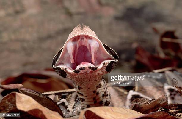 Gaboon Viper Showing Its Fangs