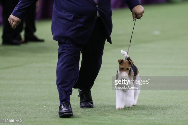 Gabriel Rangel walks with 'King' the Wire Fox Terrier after winning Best in Show at the 143rd Westminster Kennel Club Dog Show at Madison Square...
