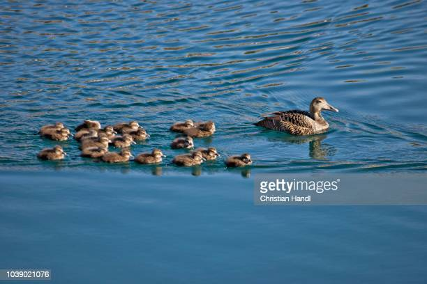 gadwall duck (anas strepera), female with ducklings, bakkagerdi, iceland, atlantic ocean - vista lateral stock pictures, royalty-free photos & images
