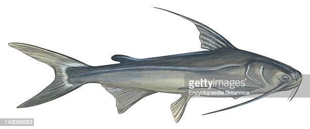 Gafftopsail Catfish Gafftopsail Catfish