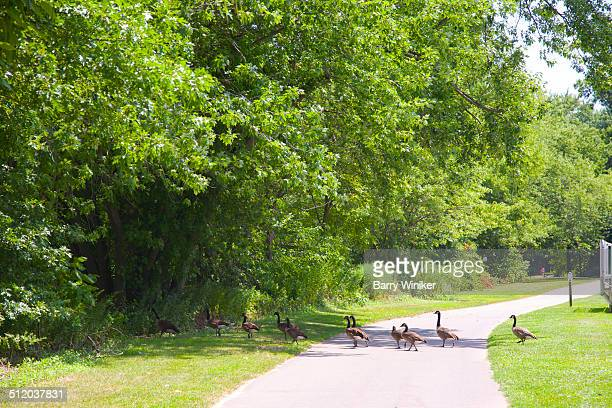 gaggle of geese crossing path in park - ridgewood new jersey stock pictures, royalty-free photos & images