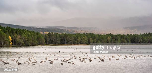 Gaggle of Greylag Geese on Loch Garten in the Highlands of Scotland.