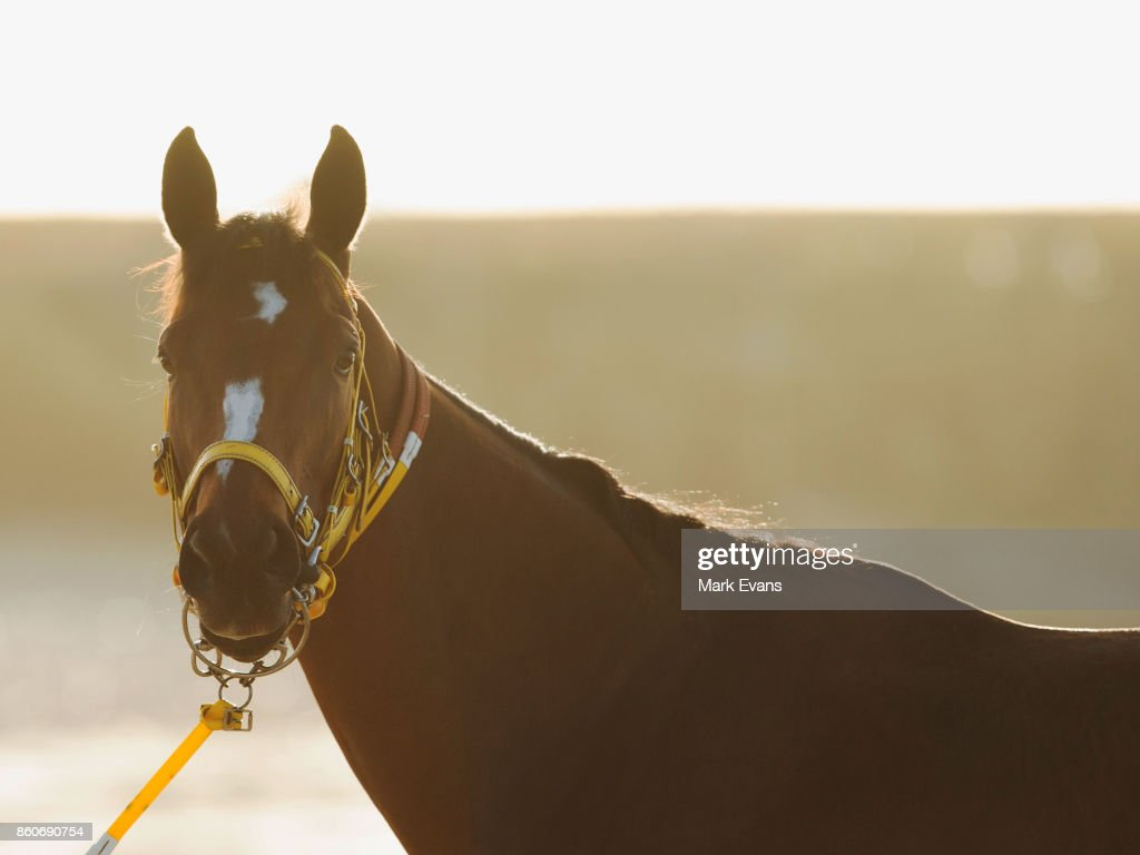Gai Waterhouse trained horse English prepares for tomorrow's The Everest, at Botany Bay on October 13, 2017 in Sydney, Australia.