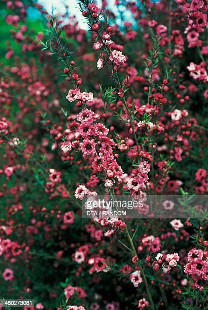 Gaiety Girl New Zealand Tea Tree Myrtaceae