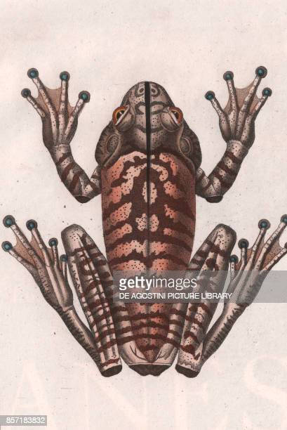 Gaimard Frog colour copper engraving retouched in watercolour 9x15 cm from Dizionario delle scienze naturali compilato da vari professori del...
