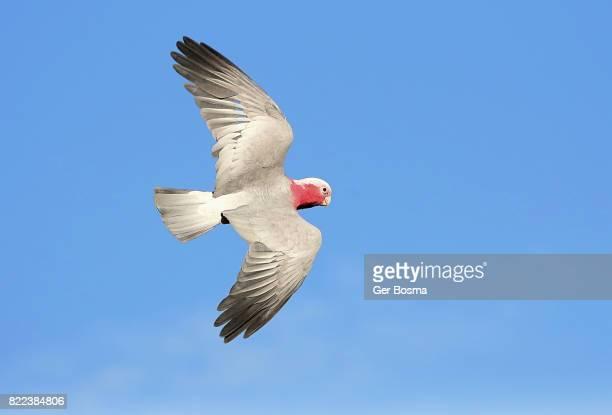 Galah Cockatoo In Flight