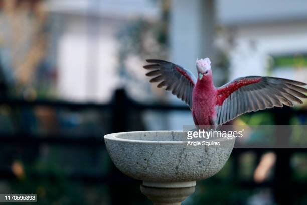 galah in bird bath with wings spread. - spread wings stock pictures, royalty-free photos & images