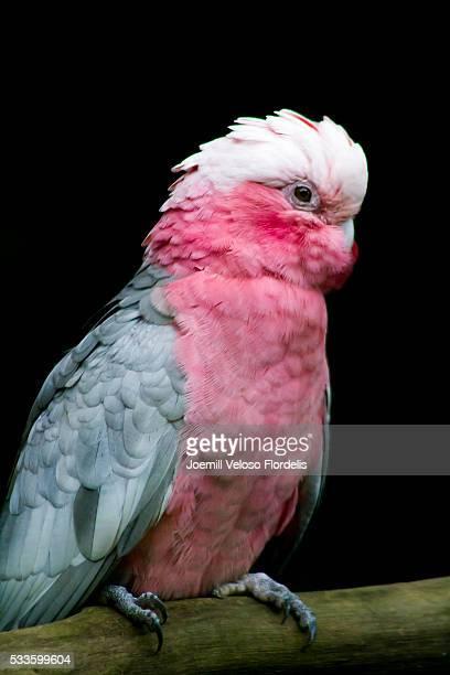 Galah or Rose-breasted Cockatoo