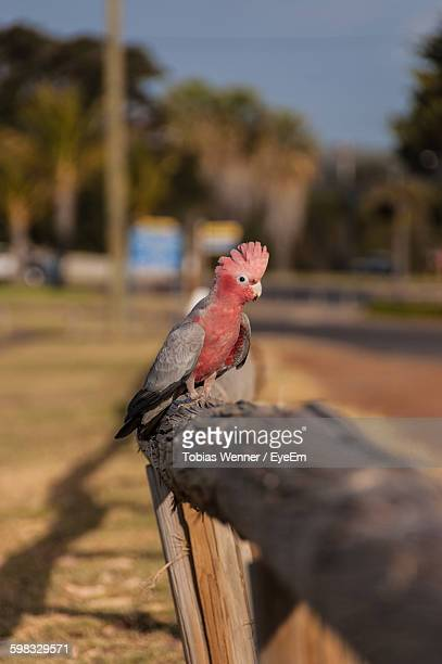 Galah Perching On Wooden Fence At Field