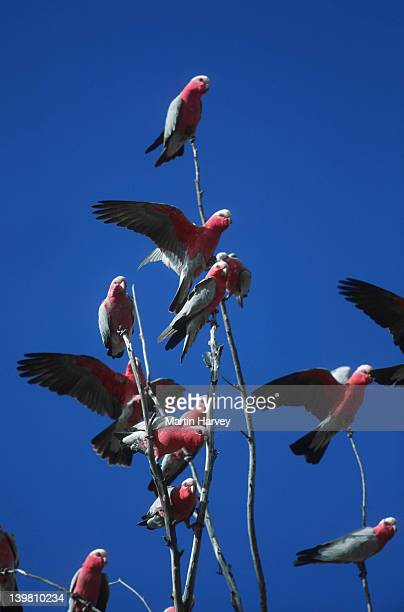 Galahs, Cacatua roseicapilla, are usually in large noisy flocks. Australia.