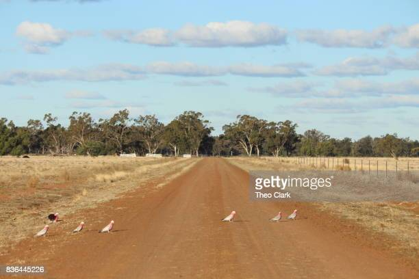 Galahs on a country road