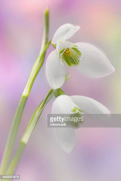 galanthus elwesii - snowdrops - snowdrop stock pictures, royalty-free photos & images