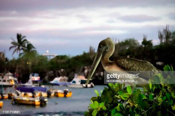Galapagos brown Pelican is seen in Puerto Ayora, Galapagos Archipelago, in the Pacific Ocean, 1000 km off the coast of Ecuador, on February 13, 2019.