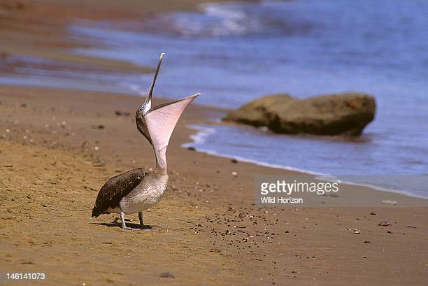 Galapagos brown pelican on the beach stretching its neck possibly yawning Pelecanus occidentalis urinator Floreana Island Charles Island Santa Maria...