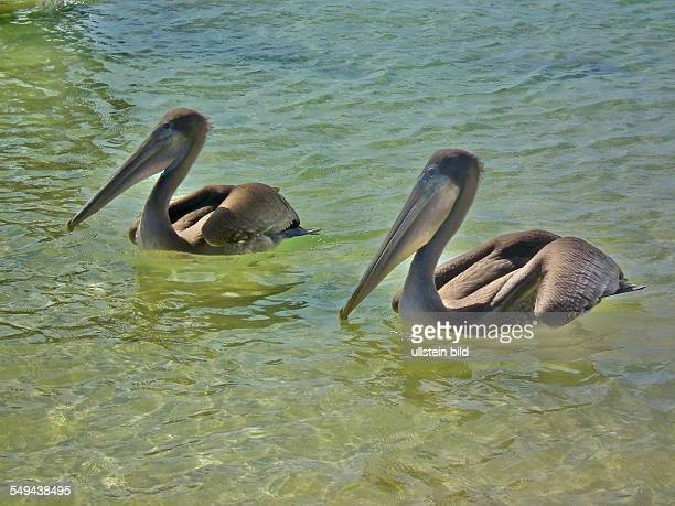 Galapagos Brown Pelicans on the Isla Floreana
