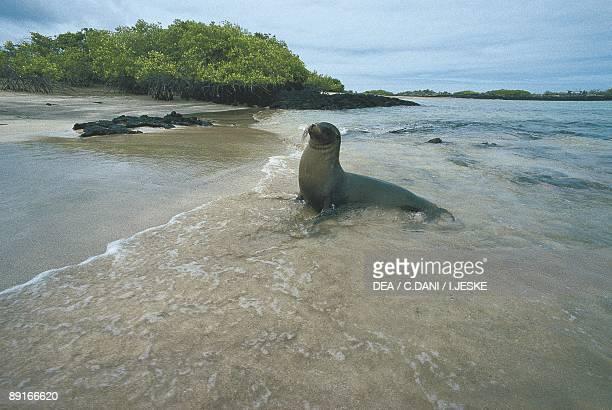 Galapagos California Sea Lion in shallow water