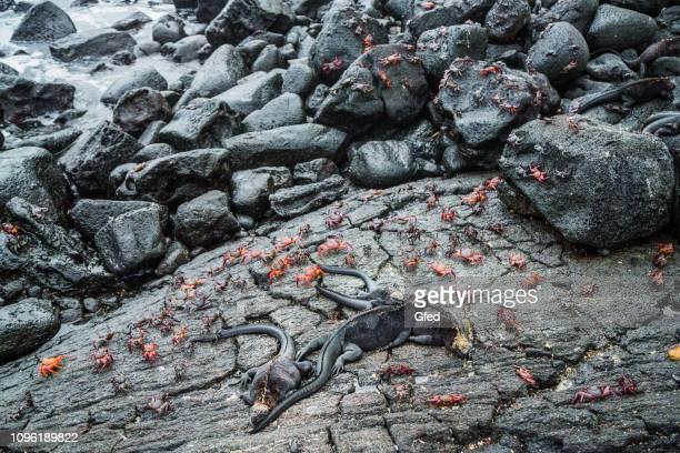 Galapagos Crabs and Iguanas