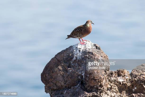 Galapagos Dove stands on a rock facing the sea in Genovesa Island on February 21 in Galapagos, Ecuador. This is a species of bird in the family...