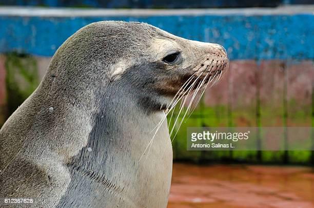 Galapagos fat sea lion