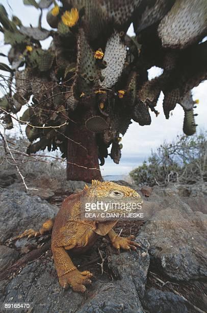 Galapagos Galapagos Land Iguana on rocks under cactus