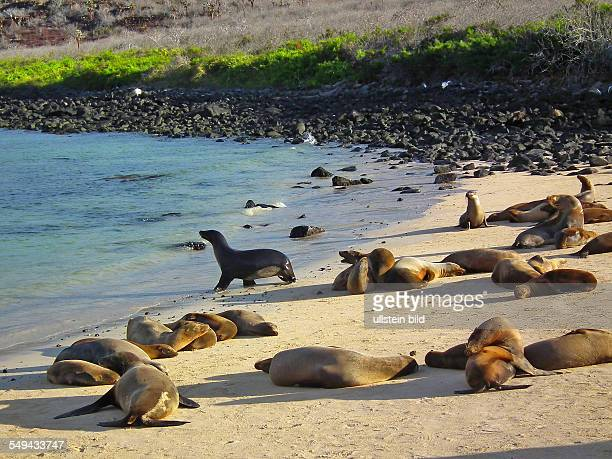 Galapagos sea lions on the Isla Plaza Sur The black Sea lion male guard his harem