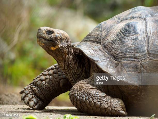galapagos giant tortoise on floreana island - galapagos islands stock pictures, royalty-free photos & images