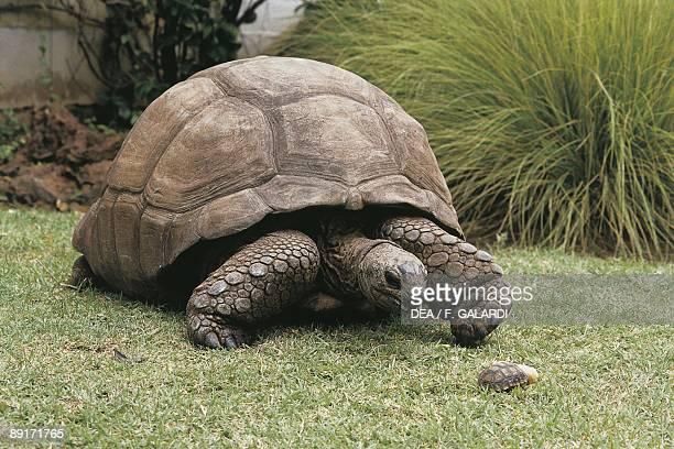 Galapagos giant tortoise on lawn