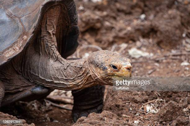 galapagos giant tortoise - threatened species stock pictures, royalty-free photos & images