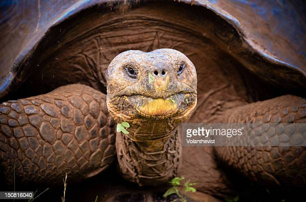 galapagos giant tortoise - galapagos islands stock pictures, royalty-free photos & images