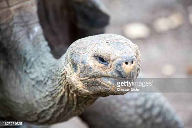 Galapagos Giant Tortoise stands in San Cristobal Island on February 23 in Galapagos, Ecuador. This is one of the most famous animals of the Islands,...