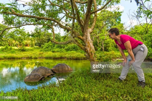 tortuga gigante de galápagos tortuga - isla de santa cruz islas galápagos fotografías e imágenes de stock