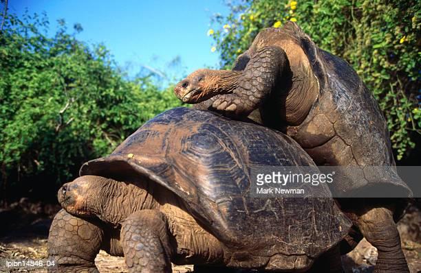 galapagos giant tortoises mating (geochelone elephantopus)., galapagos, ecuador, south america - accoppiamento animale foto e immagini stock