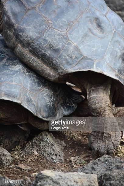 Galapagos Giant tortoises mating