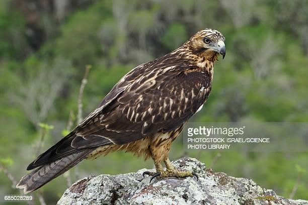 galapagos hawk buteo galapagoensis - photostock stock photos and pictures