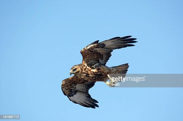 galapagos hawk in flight blue sky - hawk stock photos and pictures