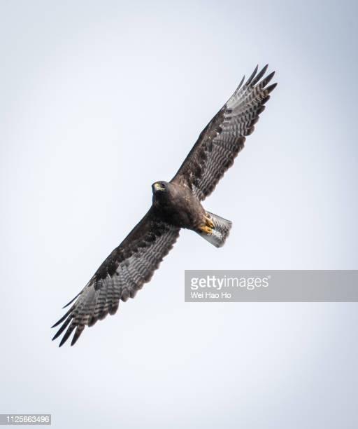 galapagos hawk in flight - gliedmaßen körperteile stock-fotos und bilder