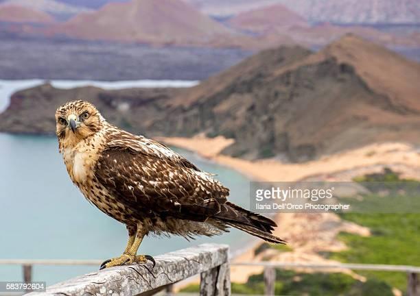 galapagos' hawk - san bartolomé isle - parque nacional galápagos fotografías e imágenes de stock