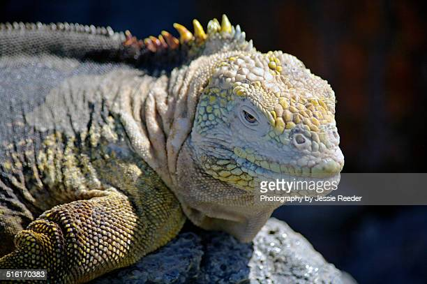 galapagos iguana sunning on rock - land iguana stock photos and pictures