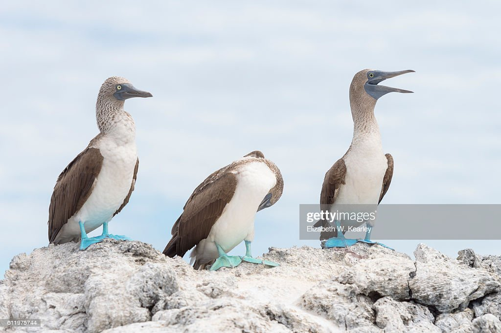 Galapagos Island Blue-Footed Booby : Stock Photo