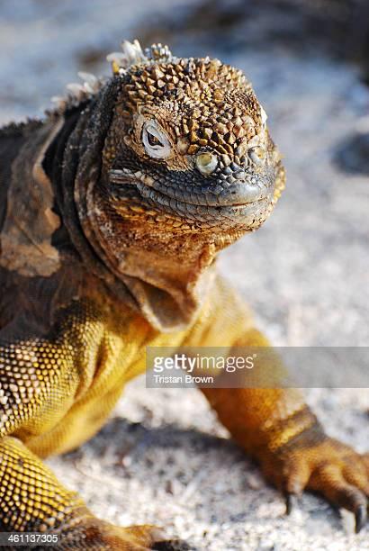 galapagos islands - land iguana stock photos and pictures