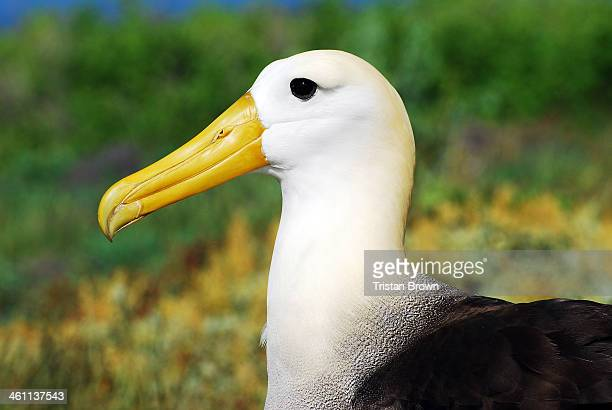 galapagos islands - albatross stock pictures, royalty-free photos & images