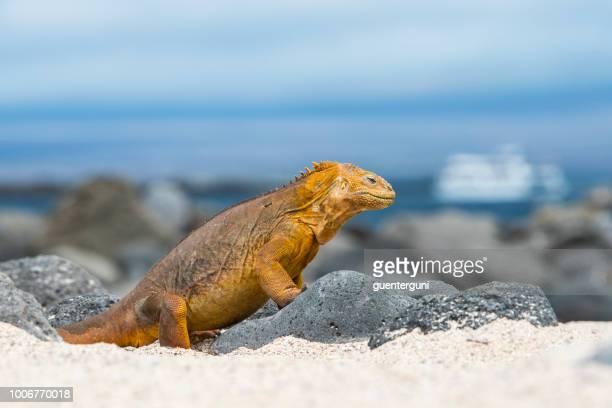 galapagos land iguana at north seymour island - galapagos islands stock pictures, royalty-free photos & images