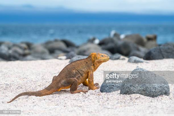 galapagos land iguana at north seymour island - land iguana imagens e fotografias de stock