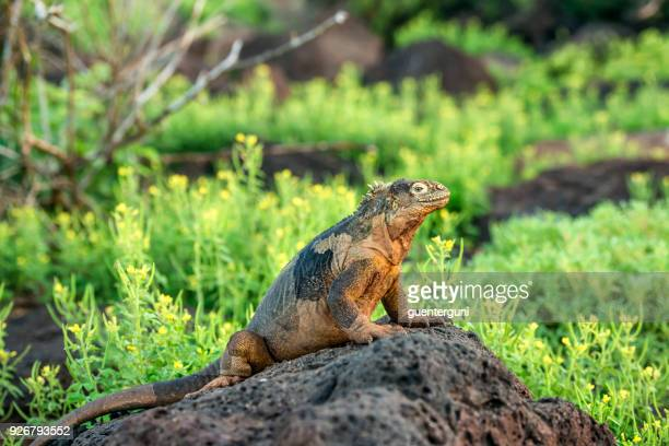galapagos land iguana at south plaza island - land iguana imagens e fotografias de stock