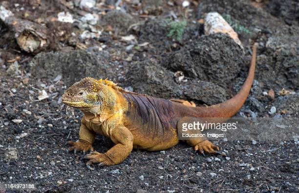 Galapagos Land Iguana Conolophus subcristatus Iguanidae family Santa Cruz Island Galapagos Islands Ecuador